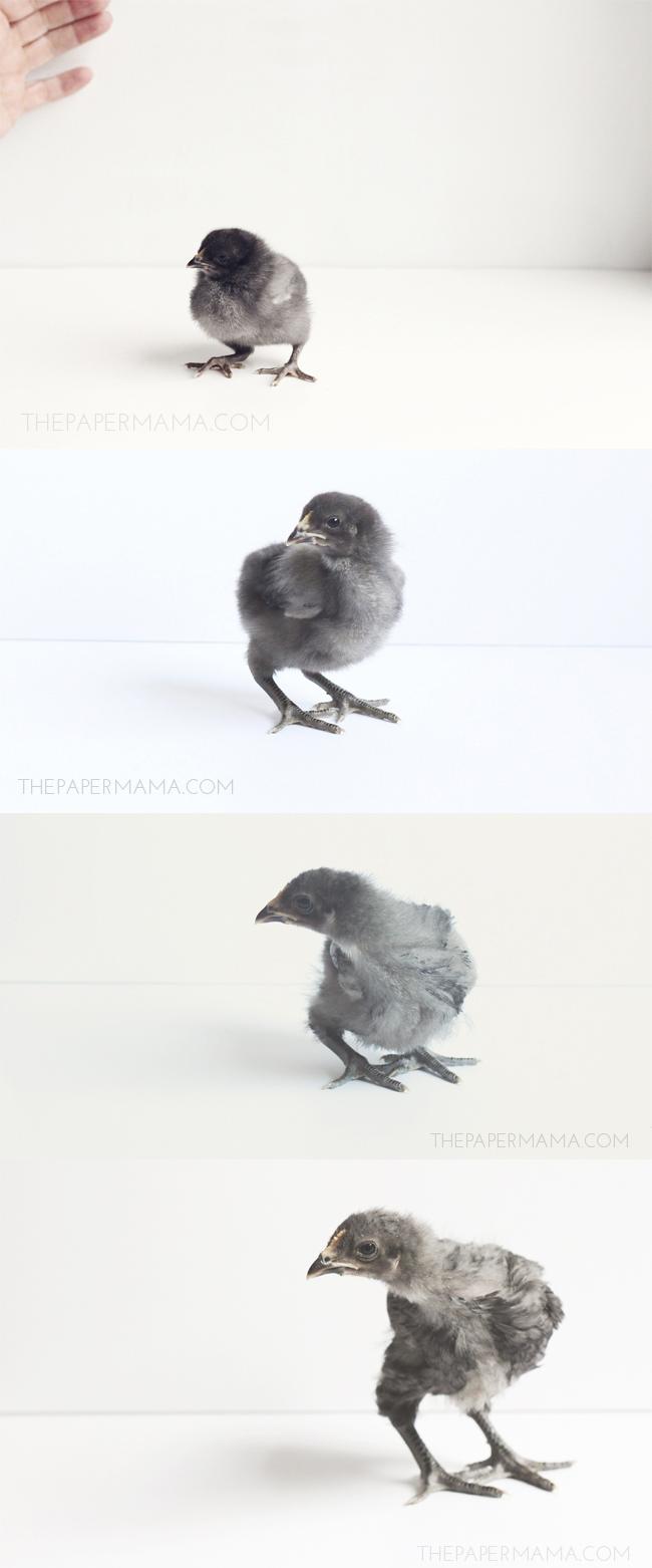 Growing Baby Chicks // thepapermama.com
