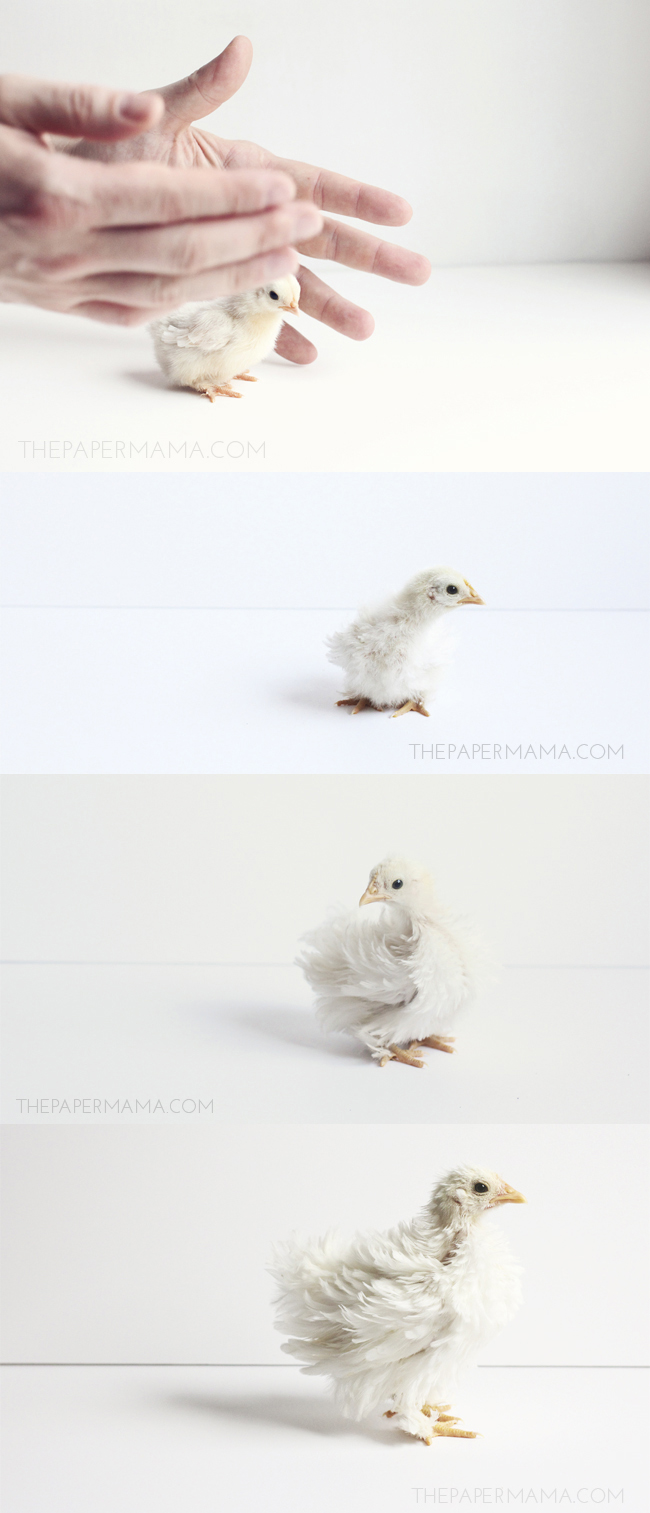 Growing Baby Chicks // thepapermama.com